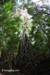 Gigantic strangler fig [java_0548]