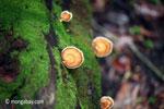 Orange fungi [java_0563]