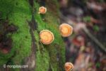 Orange fungi [java_0564]