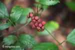 Maroon berries [java_0574]