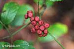 Maroon berries [java_0575]