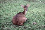 Java Rusa Deer (Rusa timorensis russa)