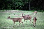 Java Rusa Deer (Rusa timorensis russa) [java_0604]