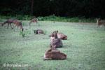 Java Rusa Deer (Rusa timorensis russa) [java_0610]