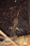 Gecko [java_0613]