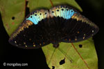 Blue and black butterfly [java_0627]