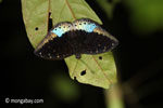 Blue and black butterfly [java_0630]