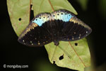 Blue and black butterfly [java_0637]