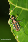 Tiger beetle [java_0673]
