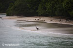 Black-headed Heron (Ardea melanocephala) on a tropical beach