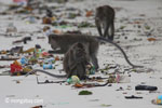 Long-tailed macaques rummaging through trash on a beach [java_0700]