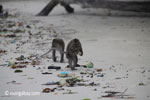 Long-tailed macaques rummaging through trash on a beach