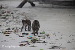 Long-tailed macaques rummaging through trash on a beach [java_0702]