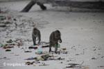 Long-tailed macaques rummaging through trash on a beach [java_0704]