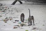 Long-tailed macaques rummaging through trash on a beach [java_0706]