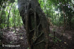 Strangler fig beginning to take hold on a rainforest tree