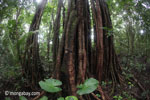 Rain forest tree in Ujung Kulon NP