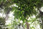 Ulung Kulon lowland rain forest [java_0781]