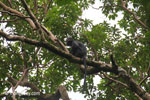 Javan langur (Trachypithecus auratus)