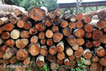 Stack of teak logs at a sawmill