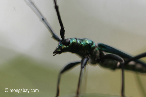Green longhorn beetle [java_0036]