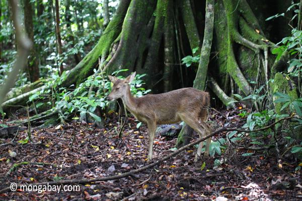 Javan Rusa Deer (Rusa timorensis russa) [java_0043]