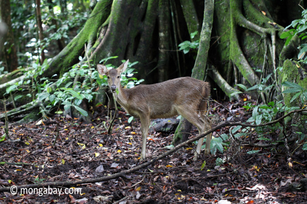 Sunda Deer (Rusa timorensis)