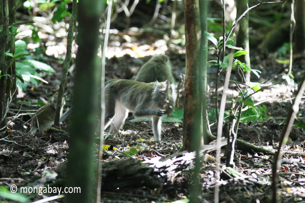 Long-tailed macaque in the rainforest