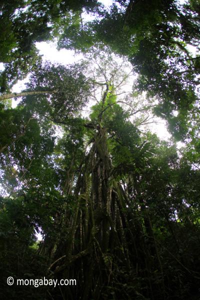 Massive rainforest stranger fig [java_0065]