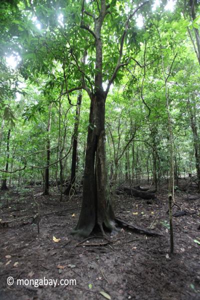 Peucang Island rainforest [java_0088]