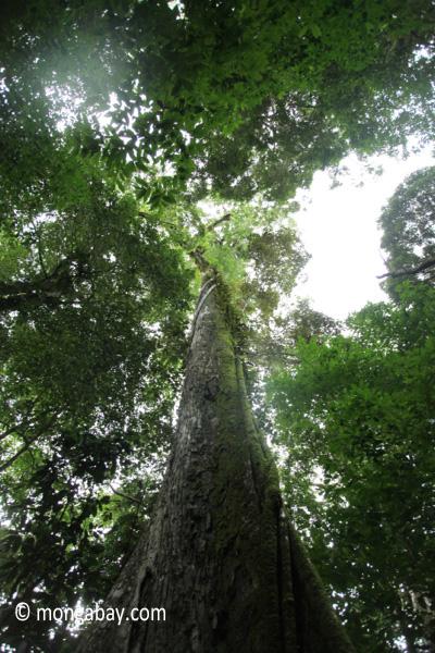 Large rainforest tree [java_0091]