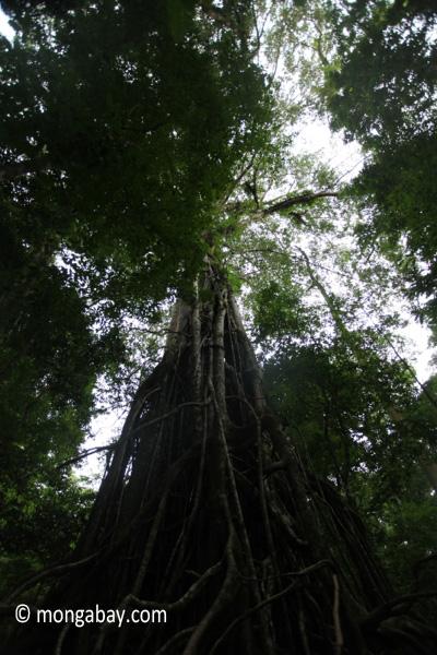 Massive stranger fig tree [java_0098]