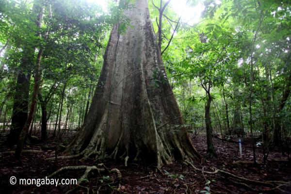 Lowland rain forest in Java. Rhett A. Butler.