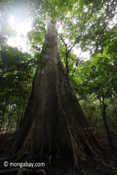 Large rainforest tree