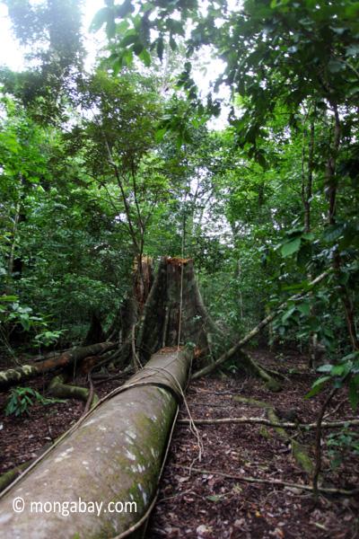 Fallen tree in Java's Ujung Kulon