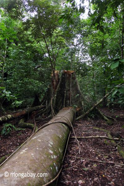 Fallen rain forest tree in Ujung Kulon