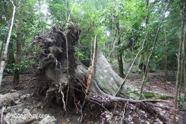 Fallen tree in Ujung Kulon