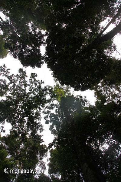 Canopy ferns [java_0120]