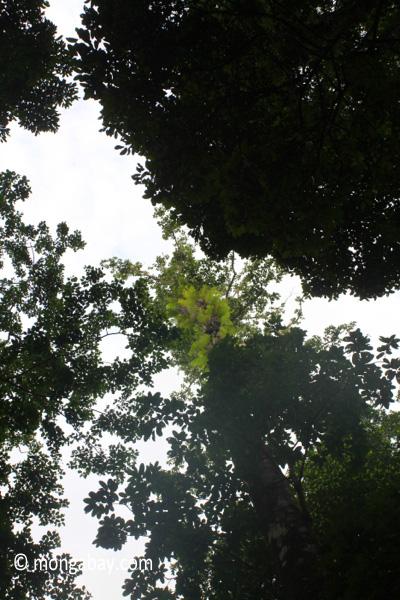 Canopy ferns