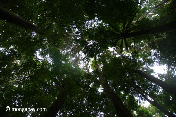 Rainforest canopy of Ujung Kulon