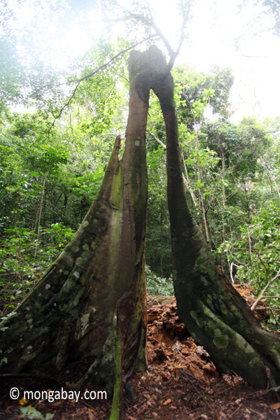 Split buttress roots of a rainforest tree