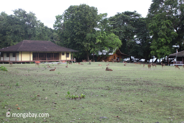 Deer on the grass at Peucang Island resort