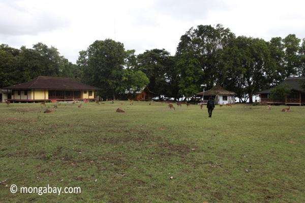 Deer on the grass at Peucang Island camp