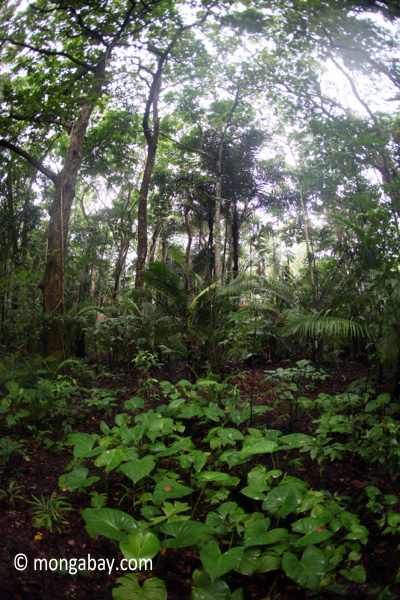 Lowland rain forest in Ujung Kulon National Park