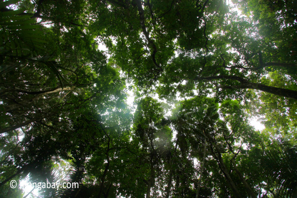 Ciadon rainforest canopy