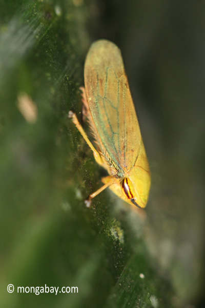 Yellow planthopper [java_0248]