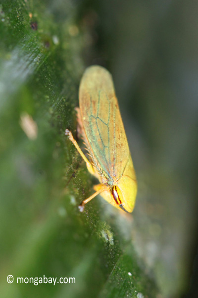 Yellow planthopper [java_0249]
