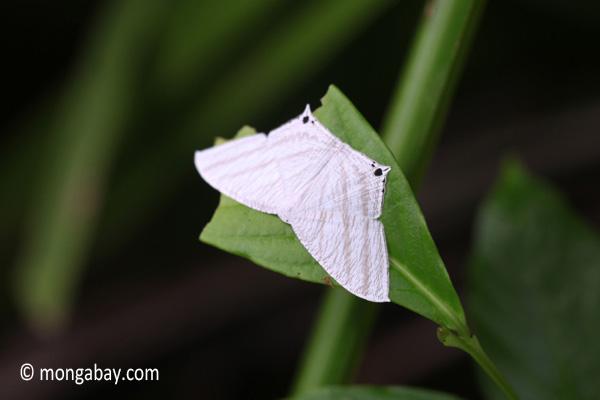 White moth [java_0281]