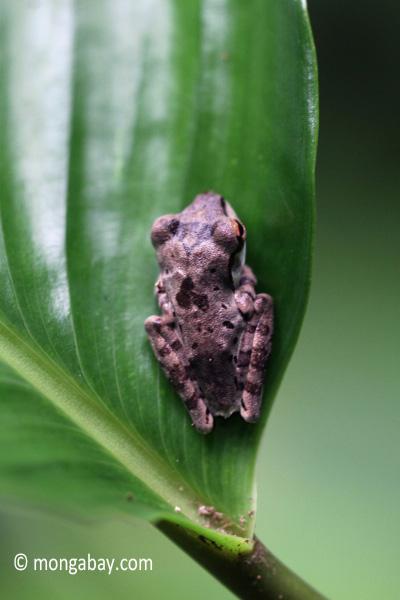 Tree frog [java_0334]