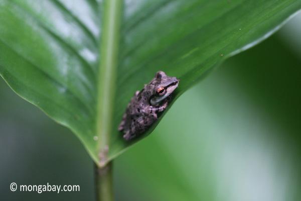 Tree frog [java_0336]